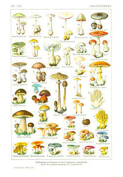 champignon_larousse_medical_1912